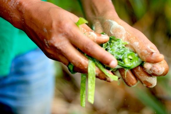 Pau sabão, detergente natural